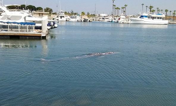 Gray whale in Huntington Beach 2